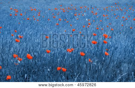 Poppy fields in blue color tone