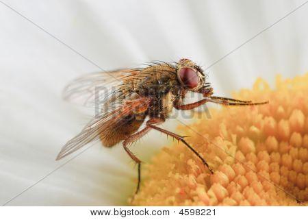 Fly- Tachinidae