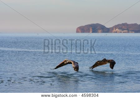 Pelicans In Flight Over Ocean