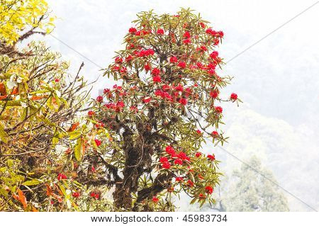 Rhododendron Plants Are The Himalayas, On The Mountain