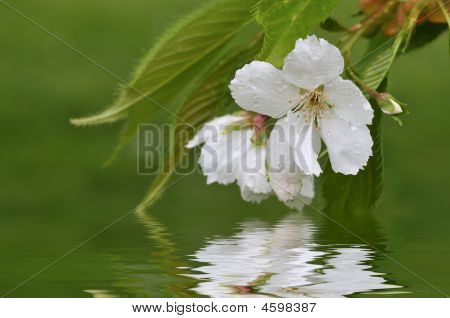 White Cherry Blossom With Water Reflection