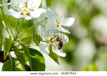 bee collecting nectar