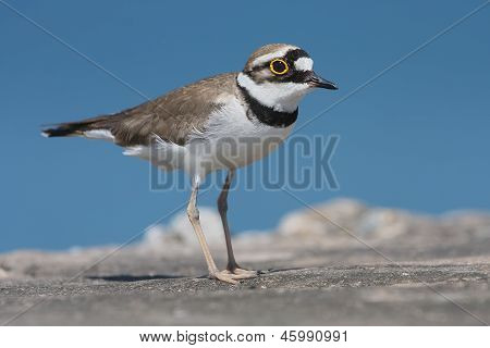 Little Ringed Plover on natural background