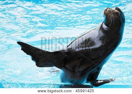 León Marino jugando en el agua azul