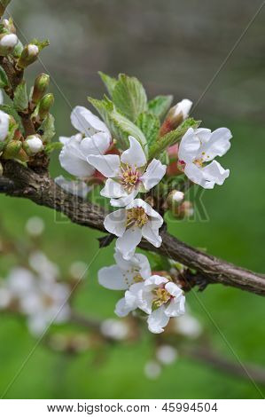 Dehiscing On Cherry-tree Flowers