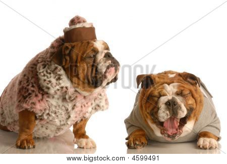 Bulldog Laughing At Another In Fur Coat