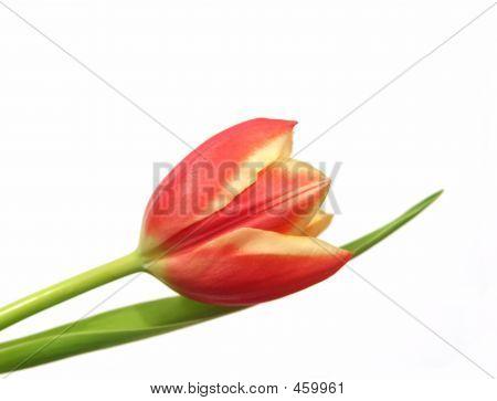 Tulip - Tulipa Desneriana