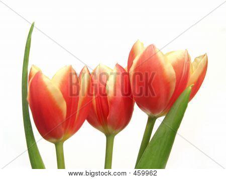 Tulip Trio - Tulipa Gesneriana