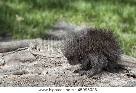 Profile of a young porcupine