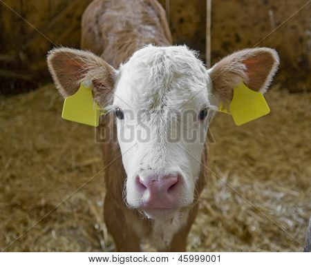 Calf Inside Of A Cow Barn