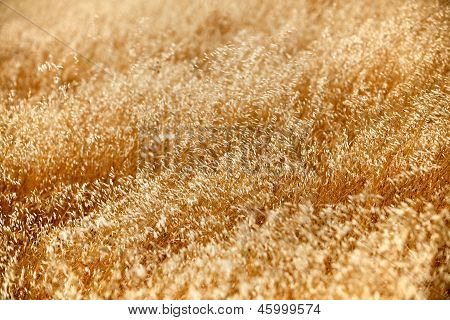 Horizontal Close Up Of Dry Tall Grass