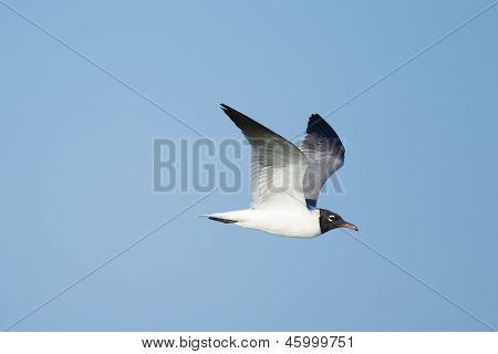 Laughing Gull In Flight