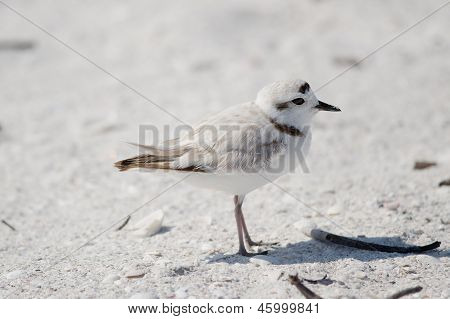Snowy Plover (charadrius Alexandrinus)