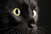 stock photo of animal nose  - Black cat on black background - JPG