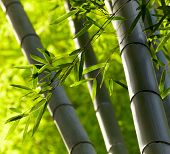 stock photo of bamboo leaves  - Bamboo forest background - JPG
