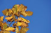 stock photo of pubescent  - pubescent oak leaves at autumn against blue sky - JPG
