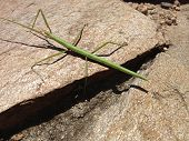 stock photo of stick-bugs  - a bug to form of stick  - JPG