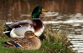 stock photo of duck pond  - Two mallard ducks in love at the lack - JPG