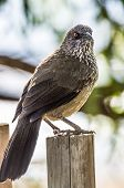 picture of babbler  - bird perched on a wooden pole in the national park - JPG