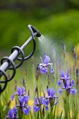 image of pesticide  - Protecting iris flower plant from vermin with pressure sprayer - JPG