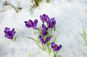 Bunch Saffron Crocus Blue Spring Bloom Snow Spring