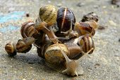 stock photo of snail-shell  - A big snail carrying other smaller snails - JPG
