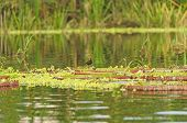 Wading Bird On Giant Water Lilies