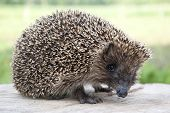 image of omnivore  - Hedgehog close up on a background of grass - JPG