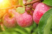 pic of garden eden  - Rain drops on ripe apples - JPG