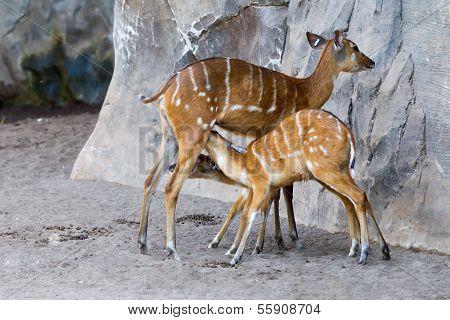 Bongo Antelope, Tragelaphus