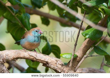 Female Red-cheeked Cordon Bleu (uraeginthus Begalus)