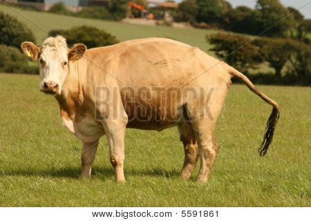 cow in the toilet