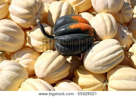 Green Acorn Squash Distinct In White Acorn Squash