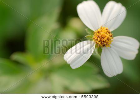 Flower Of Bidens