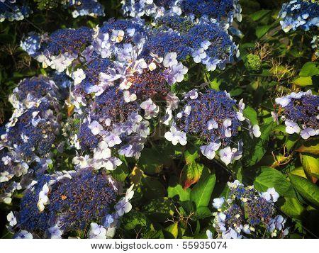 Hydrangea Aspera Macrophylla Hortensia Flowers