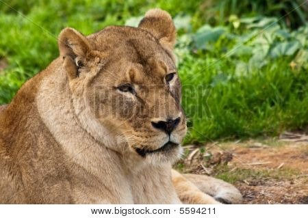 Lioness In The Zoo