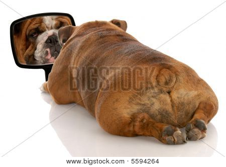 Bulldog From The Backside With Mirror