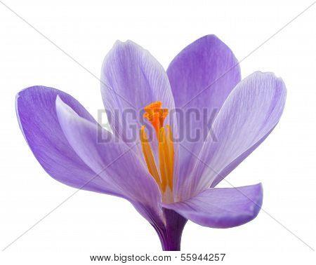 Krokus Blume
