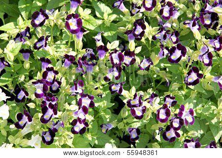 Violet Rose Balsam.