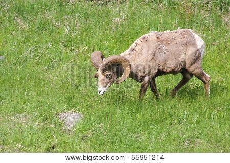 Lone Bighorn Sheep