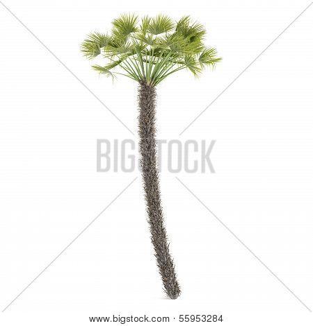 Palm tree isolated. Chamaerops Humilis