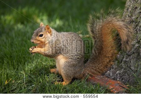 Squirrel Eating A Walnut