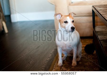 Cute White Dog In House