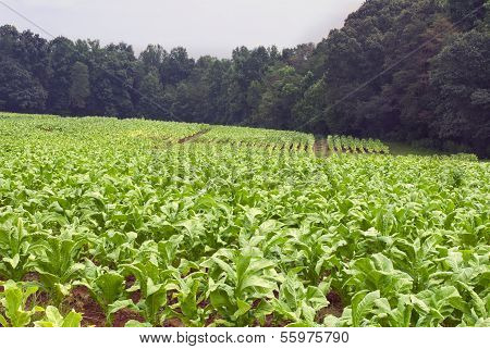 North Carolina Tobacco Field