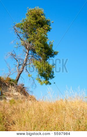 Yellow Field, Blue Sky And Tree.