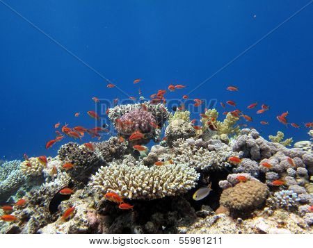 Coral and anthias