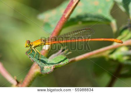 Male Common Orange Damselfly