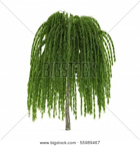 Tree isolated. Salix willow