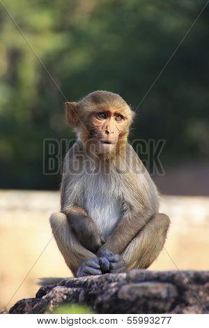Rhesus Macaque Sitting At Taragarh Fort, Bundi,  India