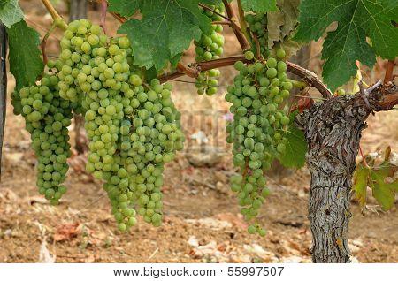 vineyard of Saint-Emilion